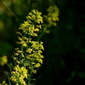 mustardweed