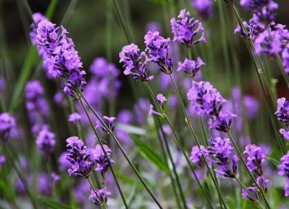 essential oils and gynecomastia